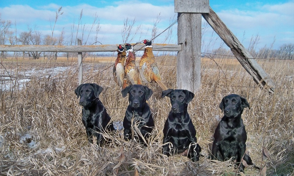 Trained Black Labs