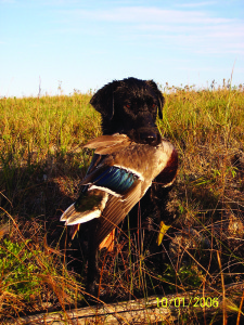 Buying A Gun Dog