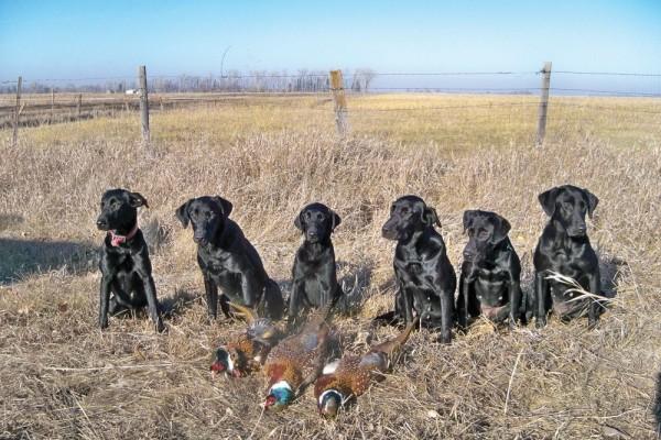 Black Labrador Retrievers & Puppies